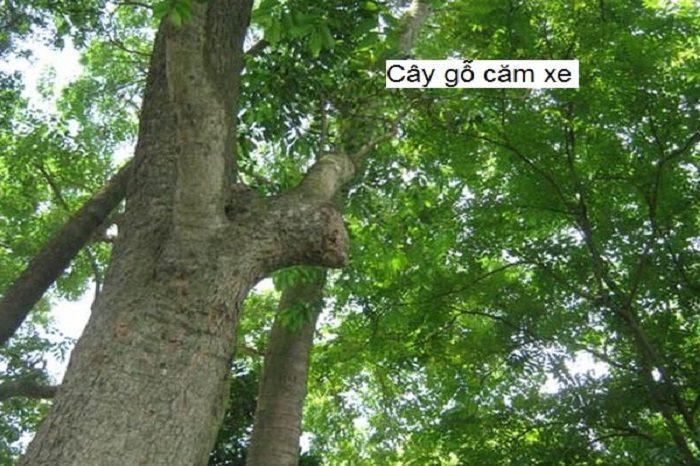Cây gỗ căm xe sống ở rừng