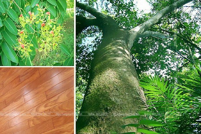 Cây gỗ Gõ đỏ phân bố chủ yếu các nước nhiệt đới