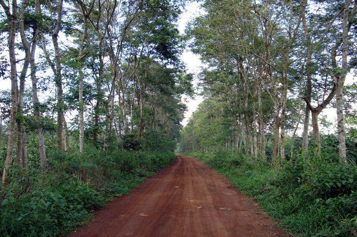 Cây gỗ muồng phân bổ nhiều ở nước ta