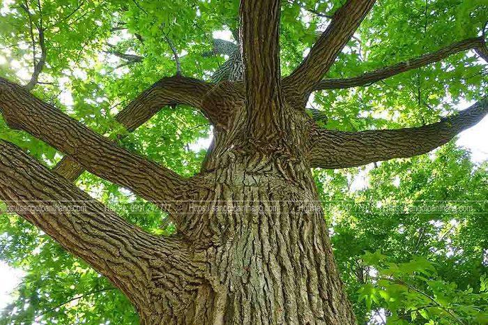 Cây gỗ Sồi Oak là biểu tượng lớn ở Châu âu