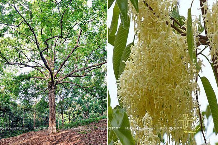 Cây gỗ Cà Chít trong tự nhiên