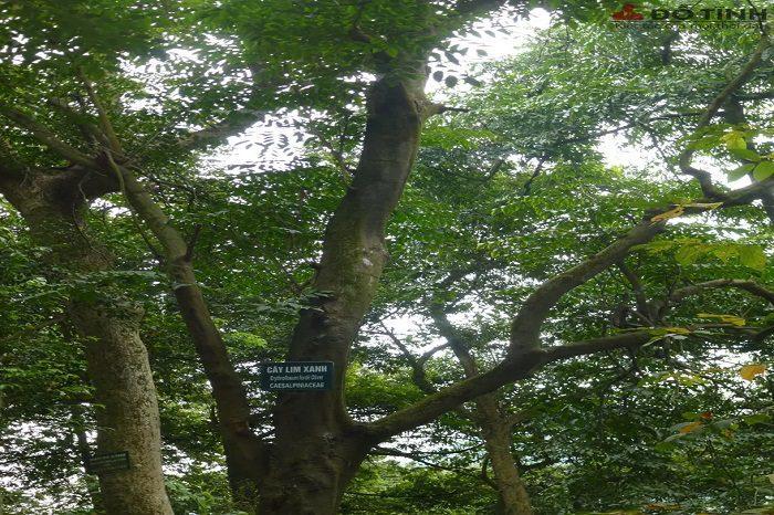 Cây gỗ lim được biết đến là gỗ quý ở Việt Nam
