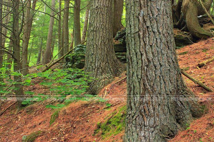 Cây gỗ Thông phân bố chủ yếu ở Tây Nguyên