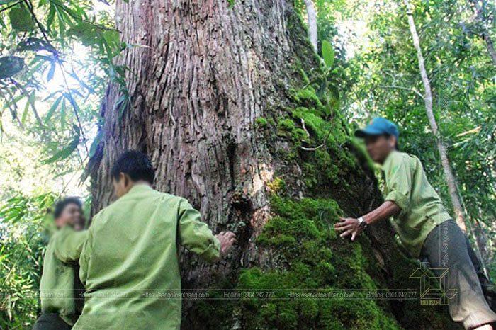 Cây gỗ Giáng Hương trong tự nhiên