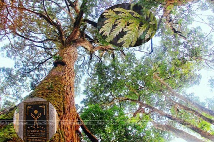 Cây gỗ Pơ Mu từ lâu đã được đưa vào diện quý hiếm, cấm khai thác ở nước ta