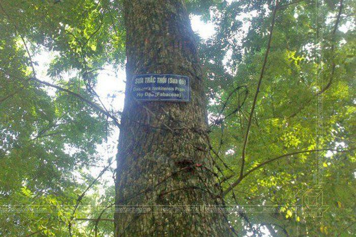 Gỗ Sưa hiện nay khá hiếm và được đưa vào danh sách gỗ cấm khai thác