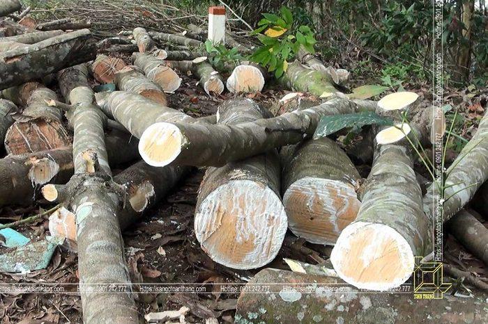 Cây Cao su khi về già không còn mủ nữa sẽ được khai thác gỗ